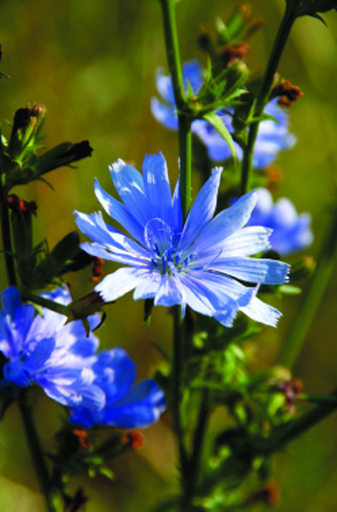 Chicory Edible Cape Cod