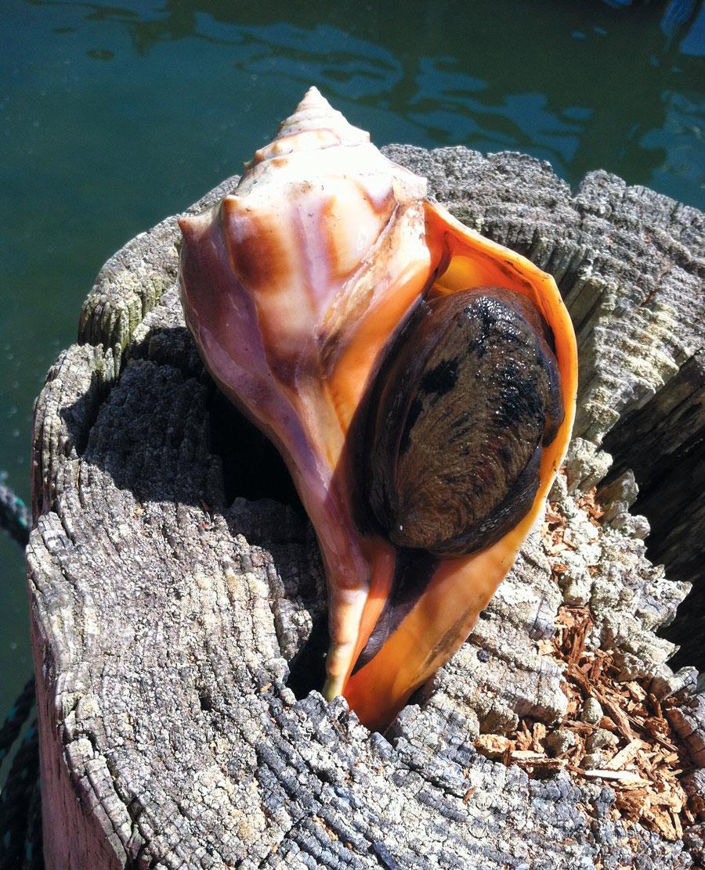 The Case Of Conch Edible Cape Cod