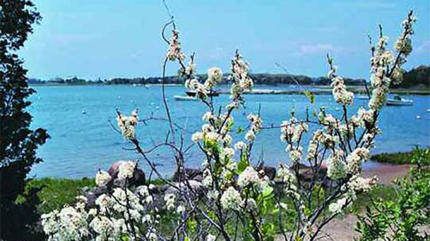 beach plum trees