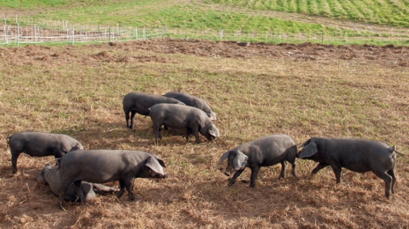 heritage pigs at cape cod organic farm