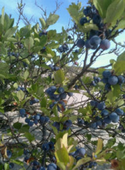 beach plums on the tree in Cape Cod, MA