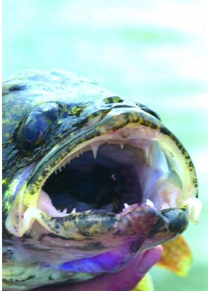 Walleye angler is a freshwater fish present in cape cod