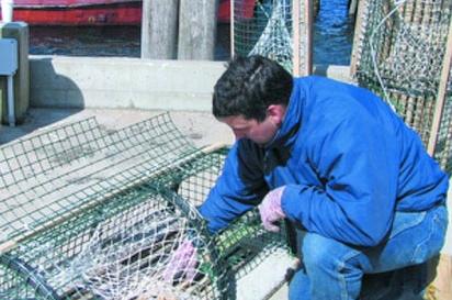 man empties lobster catch