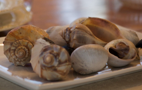 moon snails and whelks