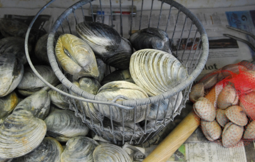 Grilled Cherrystone Clams Edible Cape Cod